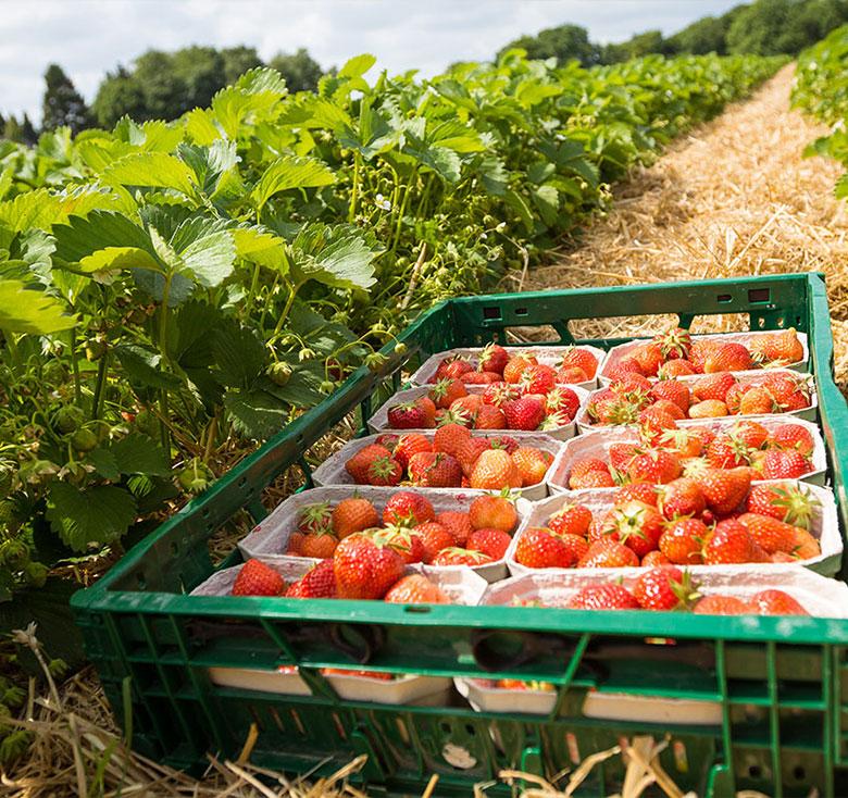Frische Erdbeeren Verkauf Herford