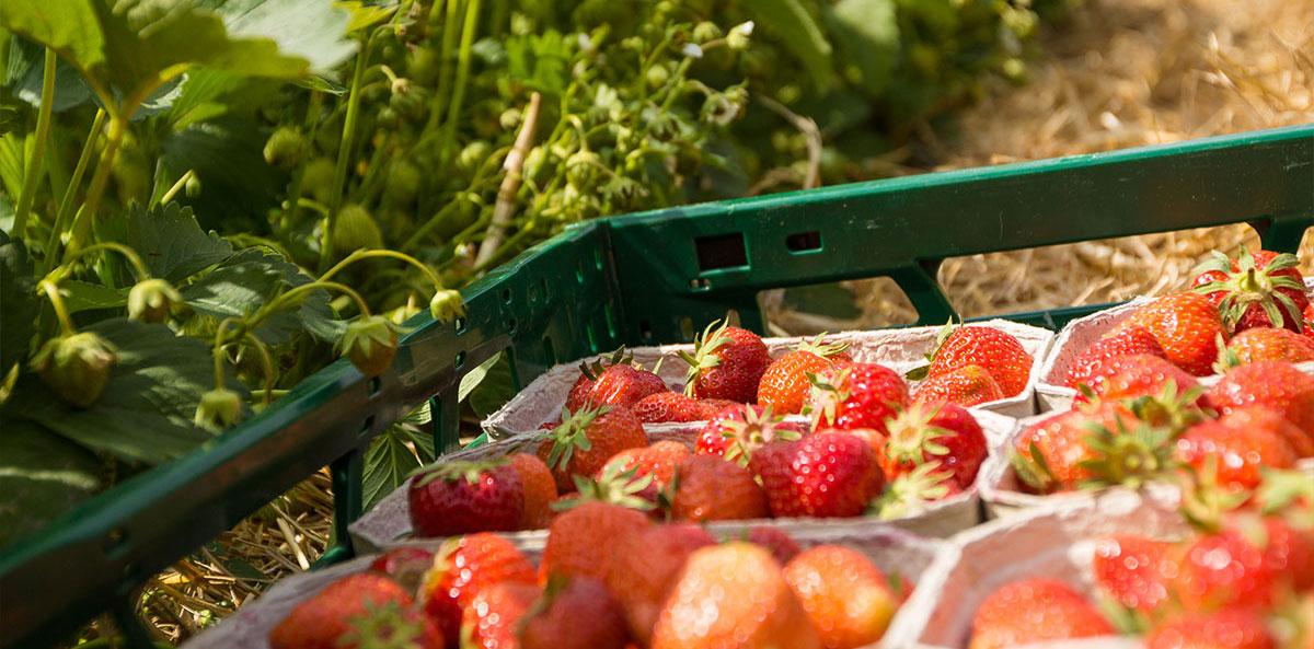 Erdbeerfelder in Herford