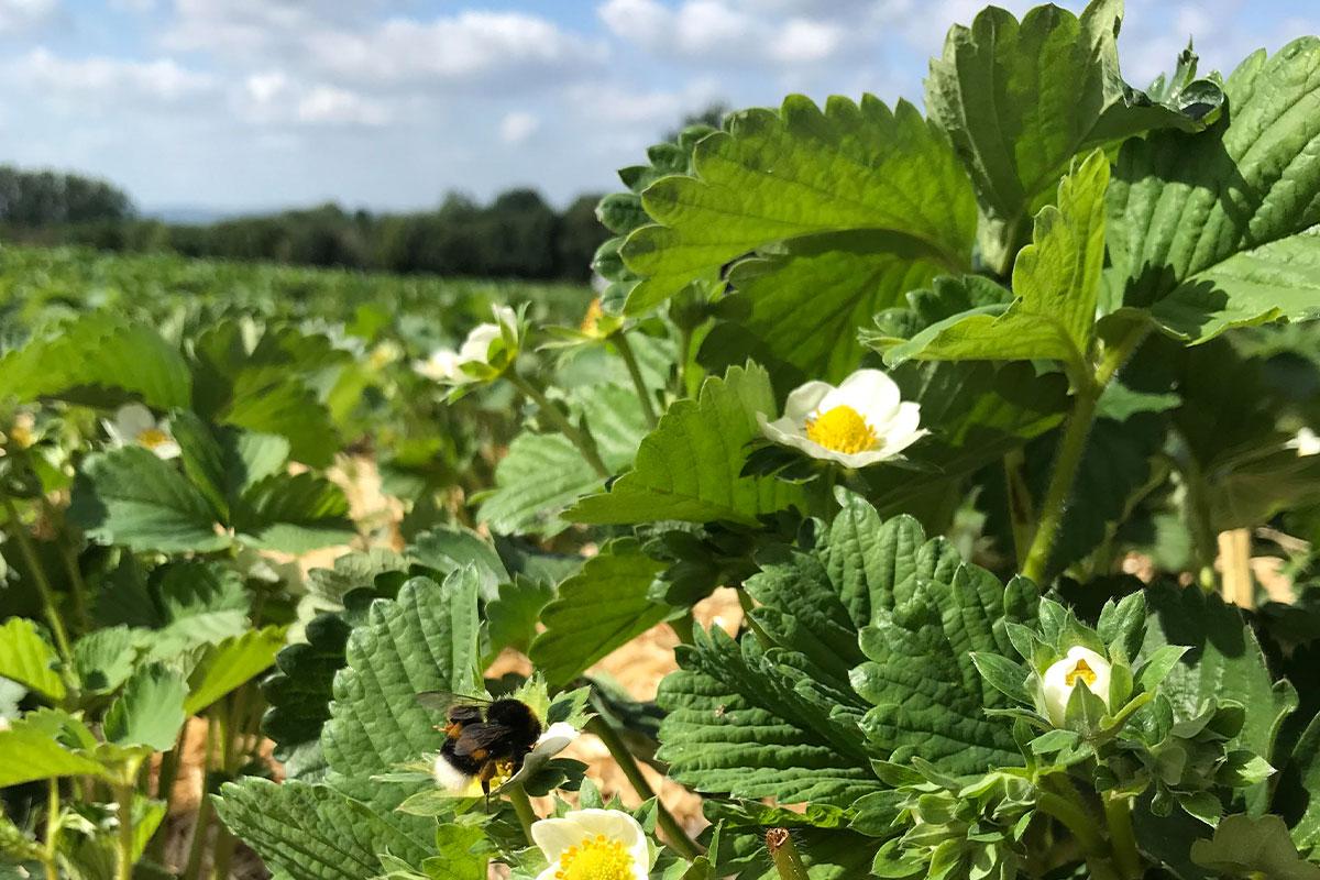 Erdbeeren aus Herford